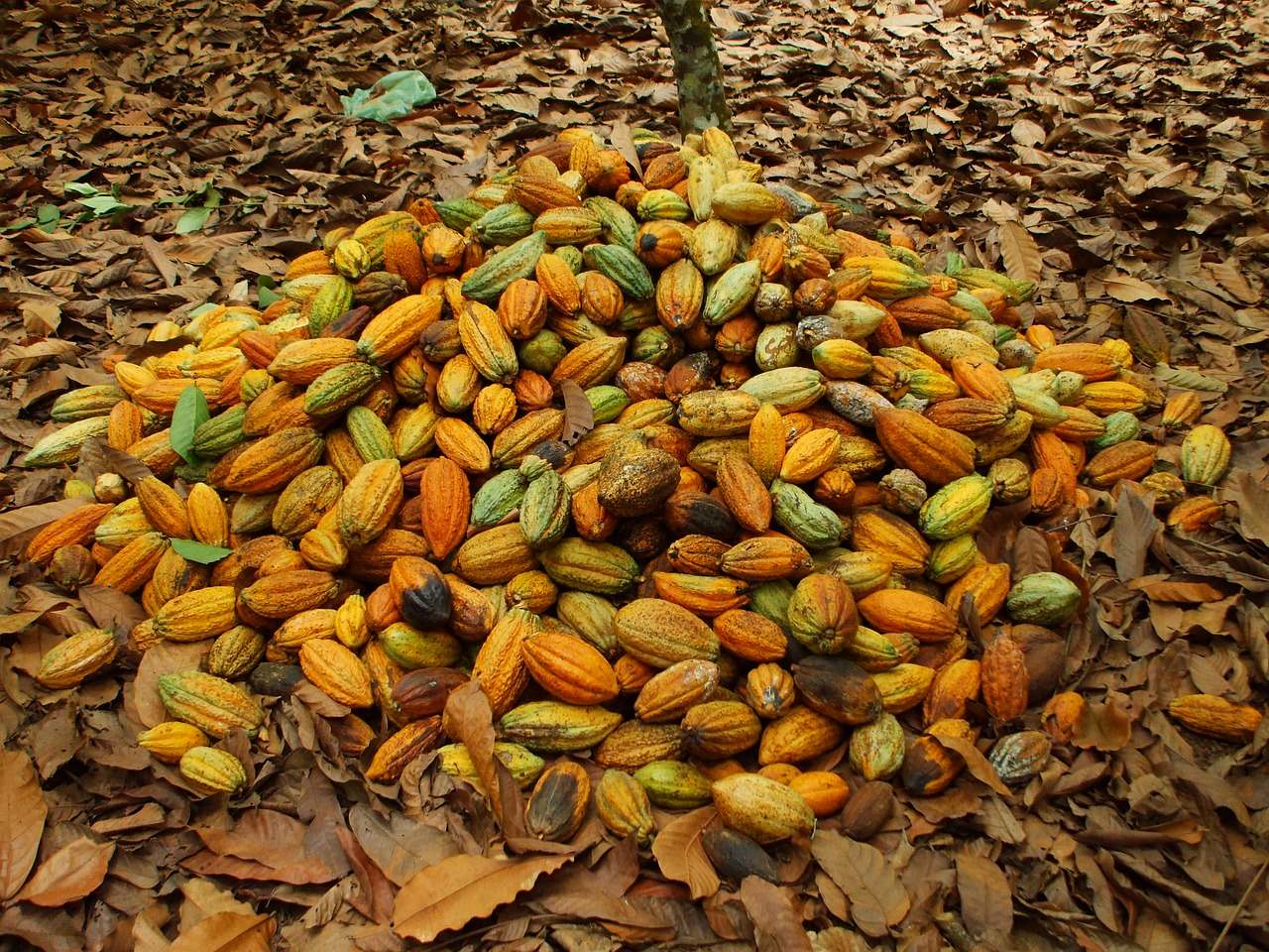 Nigeria : A productive place for Cocoa business