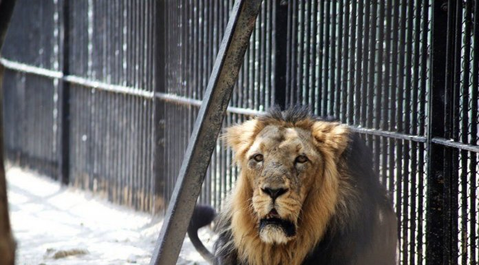 Escaped Kano Lion Sedated, Yet To Be Returned To Cage