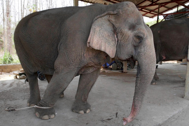 elephants Hungry And In Chains, Thai's Tourist Elephants Face Crisis
