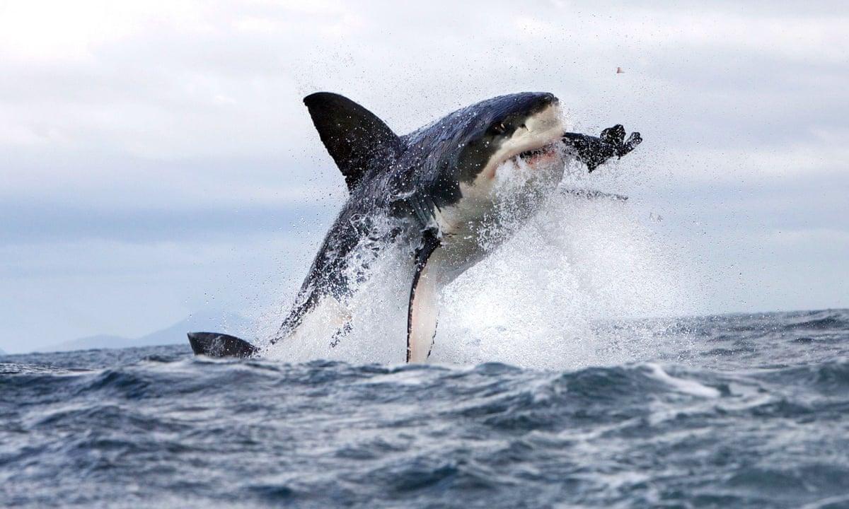Aussie Man Mark Rapley Attacks White Shark To Save His Wife
