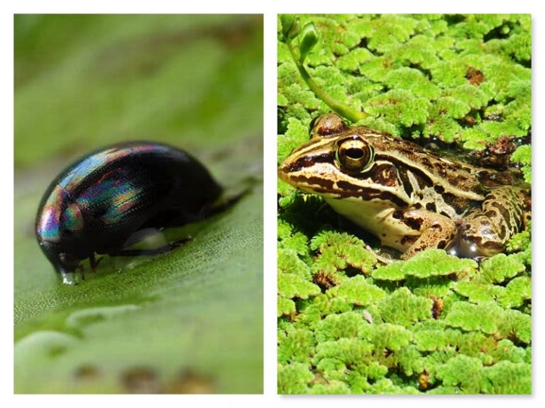 Beetle swallowed by frog survives, comes out via anus