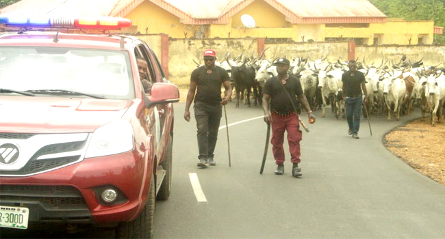 Ondo Amotekun Arrests Nine Herders, Sieze 100 Cows