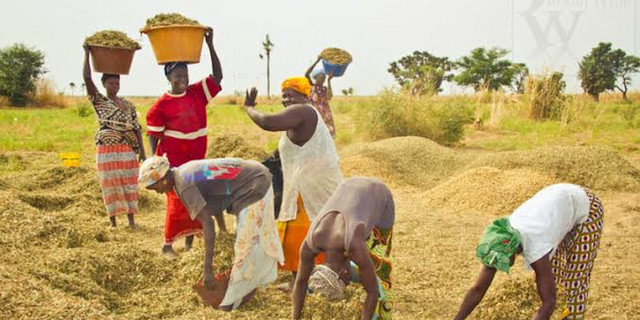 Nigeria Now Self-Sufficient In Rice, Ready For Export — RIFAN